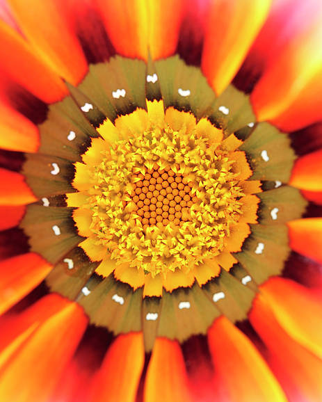 Gazania Poster featuring the photograph Orange African Daisy by Neil Overy