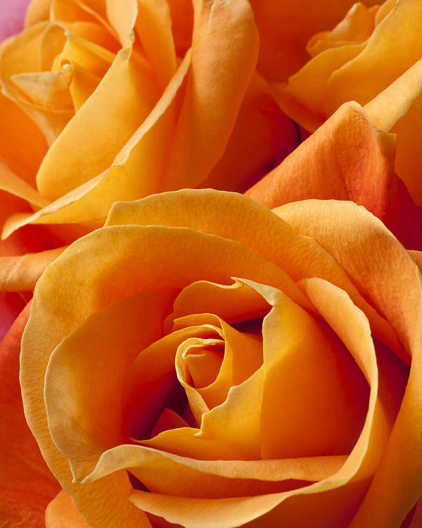 Orange Poster featuring the photograph Orange Roses by Garry Gay