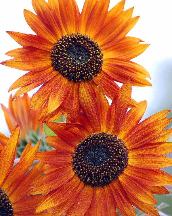 Sunflower Poster featuring the photograph Orange Sunflower 2 by Amy Fose