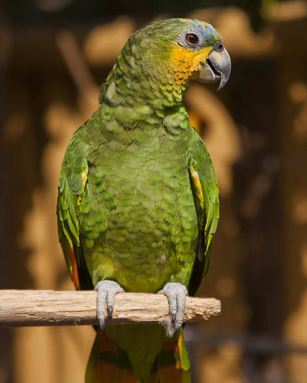 3scape Photos Poster featuring the photograph Orange-winged Amazon Parrot by Adam Romanowicz
