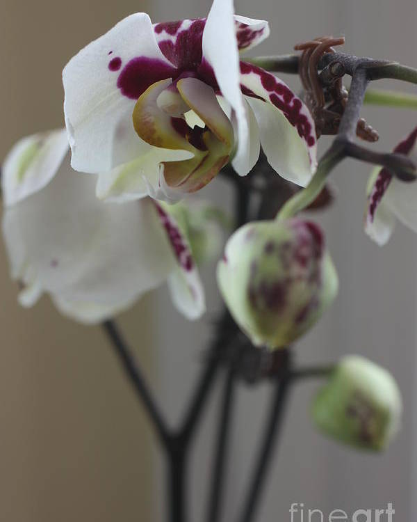 Orchid Poster featuring the photograph Orchid - 100 by David Bearden
