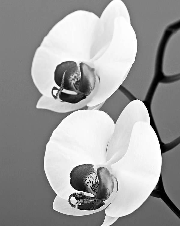 Orchid Poster featuring the photograph orchid-4- St Lucia by Chester Williams