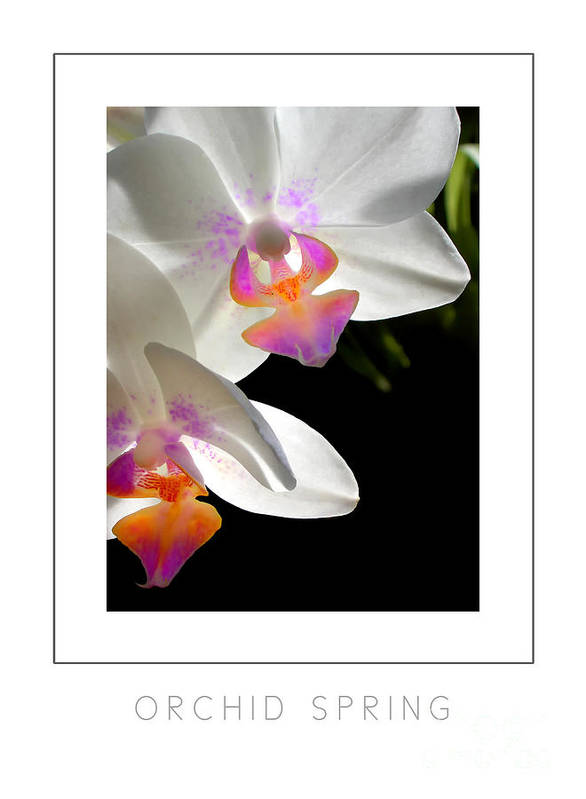 Orchid Poster featuring the photograph Orchid Spring Poster by Mike Nellums