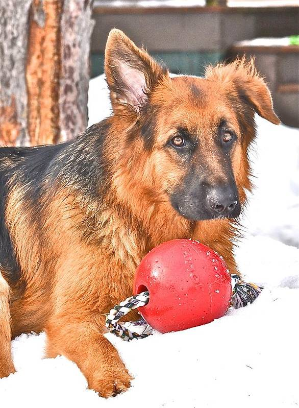 German Shepherd Dog Poster featuring the photograph Oskar And The Jolly Ball by Danielle Sigmon