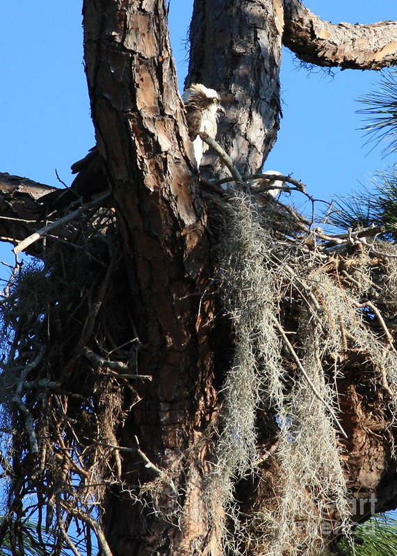 Osprey Nest Poster featuring the photograph Ospreys In Spanish Moss Nest by Carol Groenen