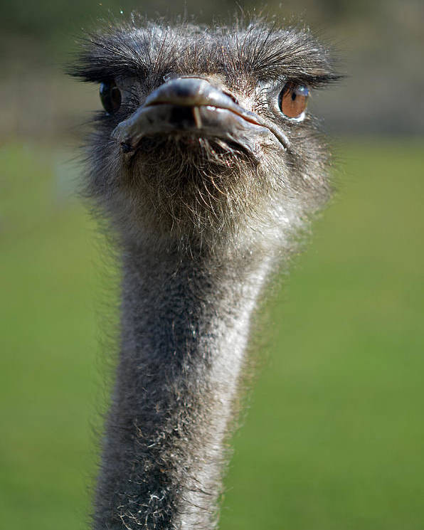 Birds Poster featuring the photograph Ostrich What A Face by Laura Mountainspring