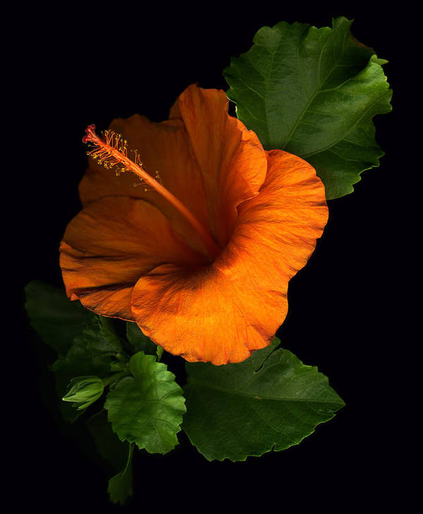 Hibiscus Poster featuring the photograph Outrageous Orange by Deborah J Humphries