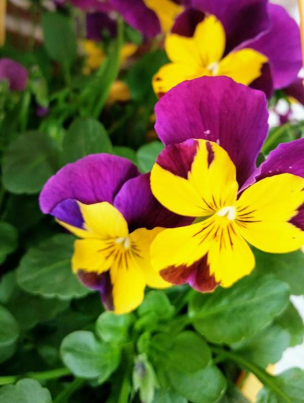 Pansies Poster featuring the photograph Pansies 2 by Valerie Josi