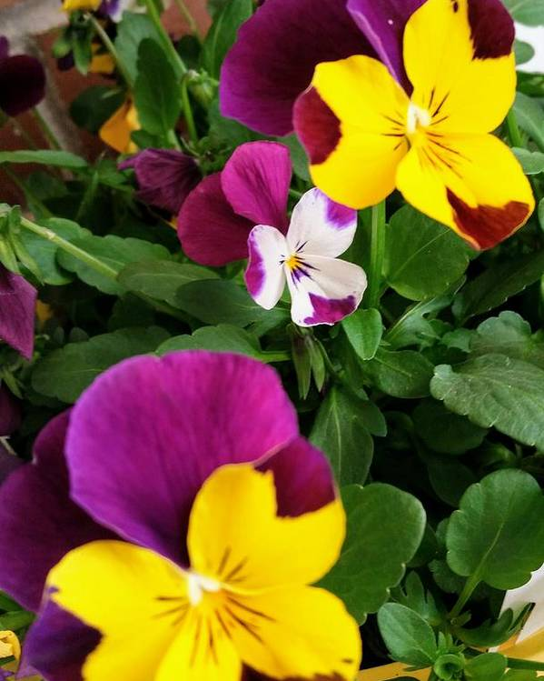 Pansies Poster featuring the photograph Pansies 3 by Valerie Josi