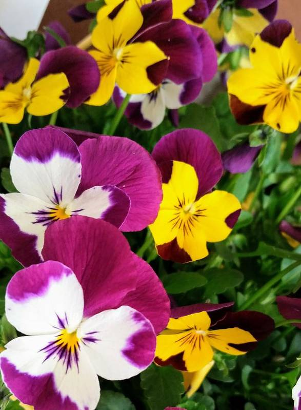 Flowers Poster featuring the photograph Pansies by Valerie Josi
