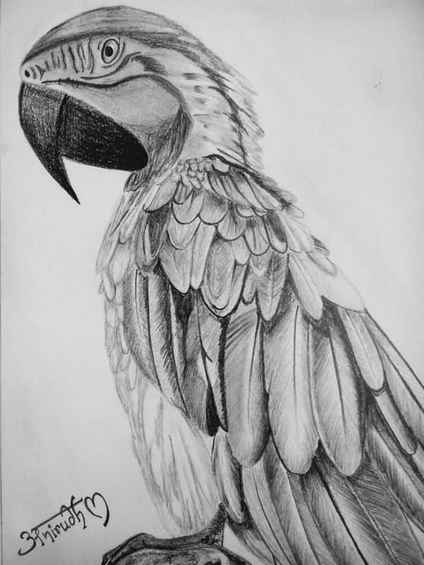 Poster featuring the drawing Parrot by Anirudh Maheshwari