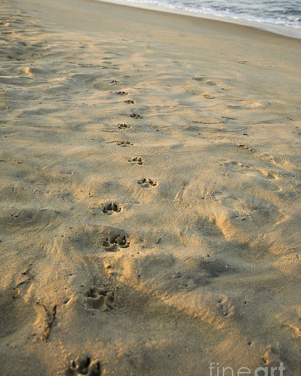 Animal Poster featuring the photograph Paw Prints In The Sand by Roberto Westbrook