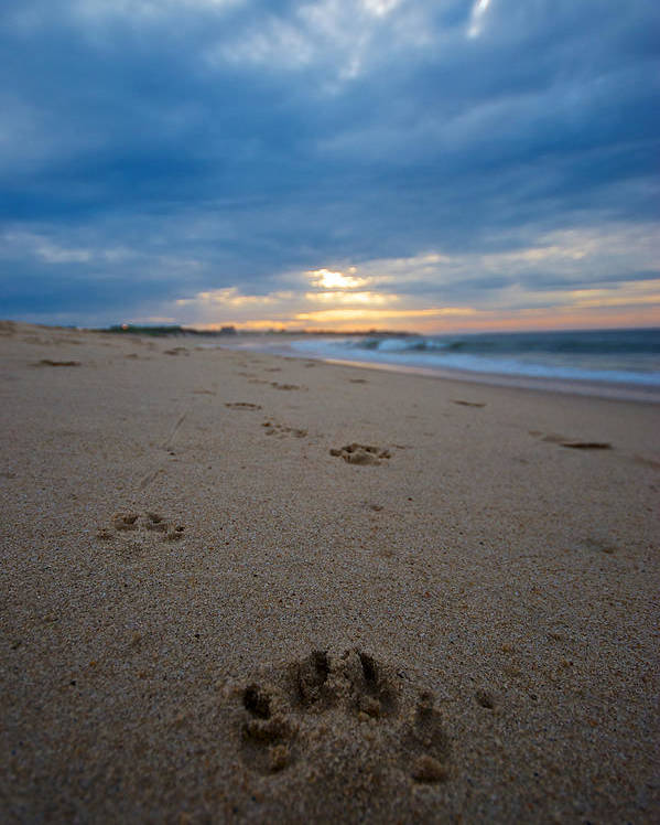 Beach Poster featuring the photograph Pawprints by Mike Horvath