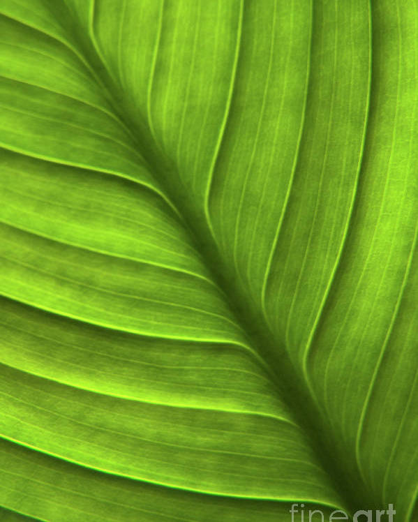 Nature Poster featuring the photograph Peace Lily Leaf by Julia Hiebaum
