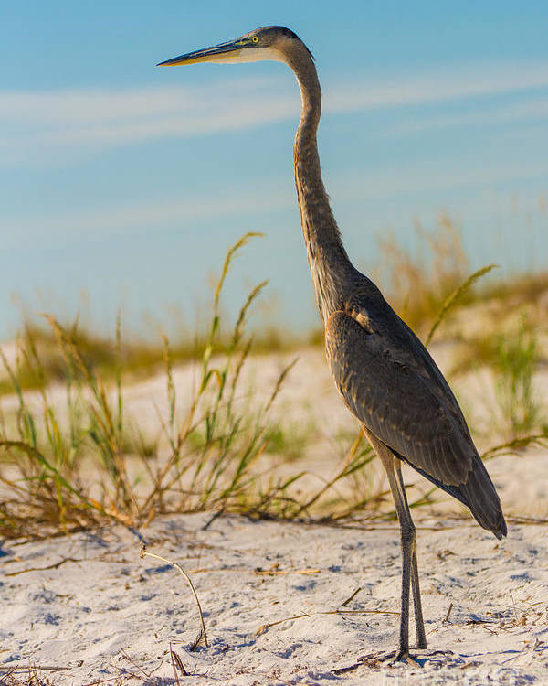 This Beautiful Bird Poster featuring the photograph Peace On The Beach by James Hennis
