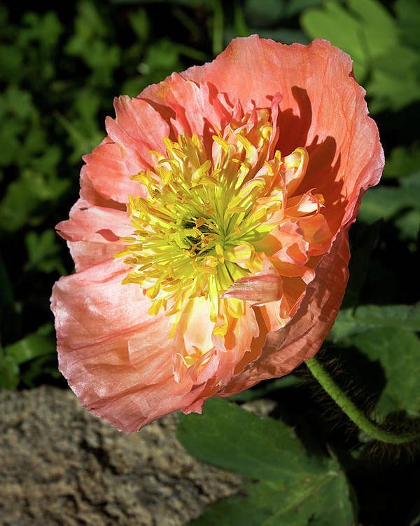 Poppy Poster featuring the photograph Peach Colored Poppy by Phyllis Denton