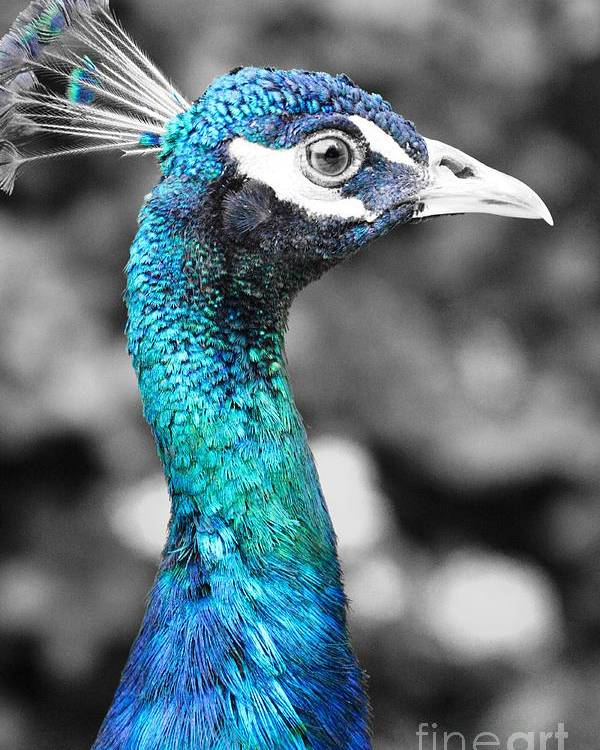 Macro Poster featuring the photograph Peacock Luminance by Lisa Kilby
