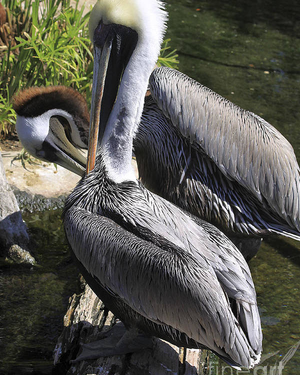 Birds Poster featuring the photograph Pelican Duo by Deborah Benoit