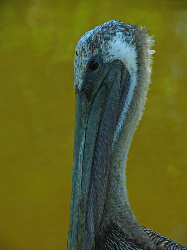 Pelican Poster featuring the photograph Pelican by Juergen Roth