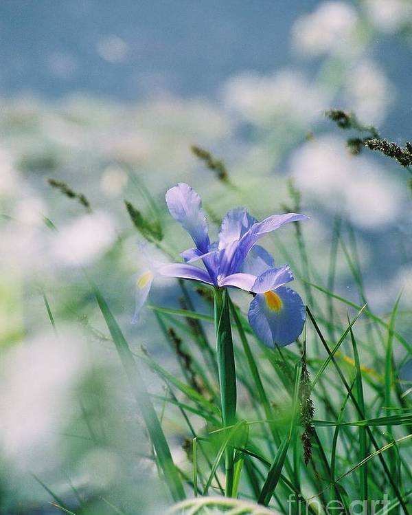 Periwinkle Poster featuring the photograph Periwinkle Iris by Nadine Rippelmeyer