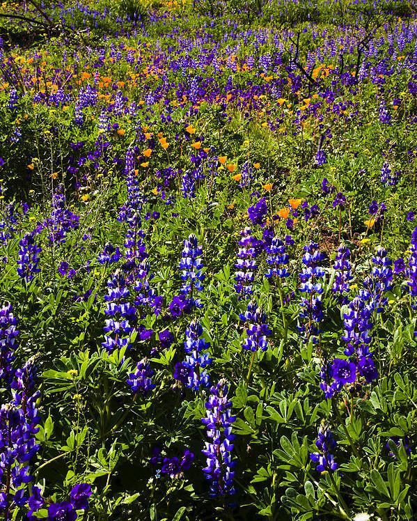 California Poster featuring the photograph Phacelia Poppies Lupines by Greg Clure