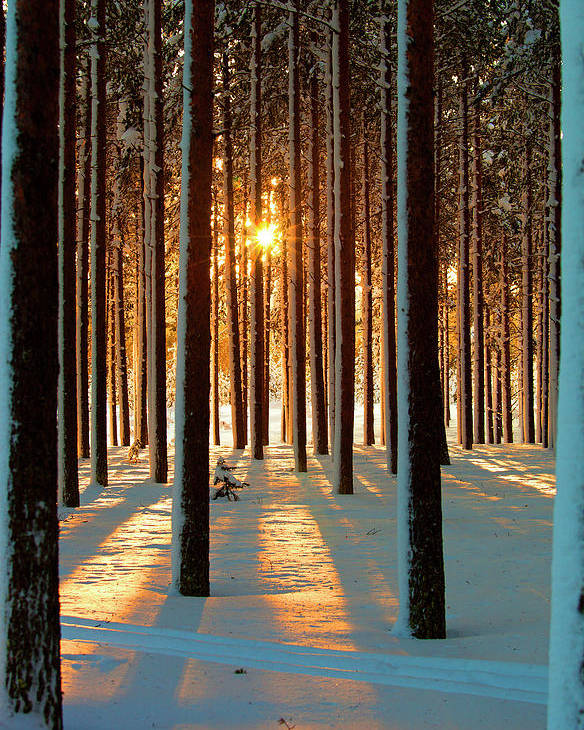 Vertical Poster featuring the photograph Pine Forest by www.WM ArtPhoto.se