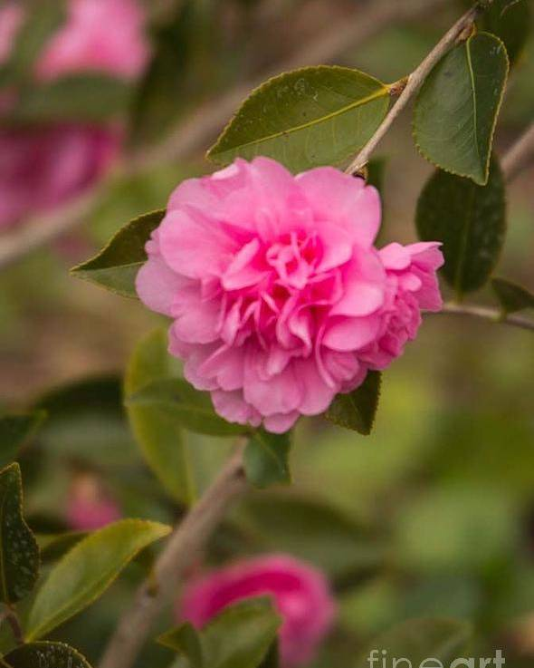 Pink Camellia Poster featuring the photograph Pink Camellia 2 by Marta Robin Gaughen