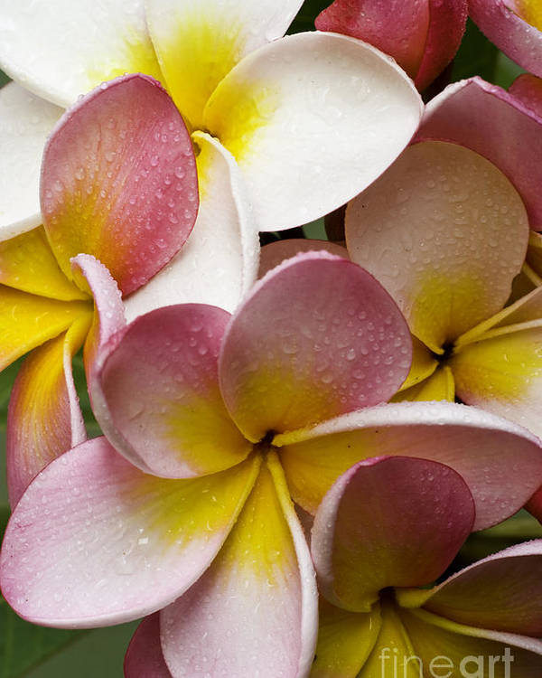 Pink Frangipani Poster featuring the photograph Pink Frangipani by Sheila Smart Fine Art Photography