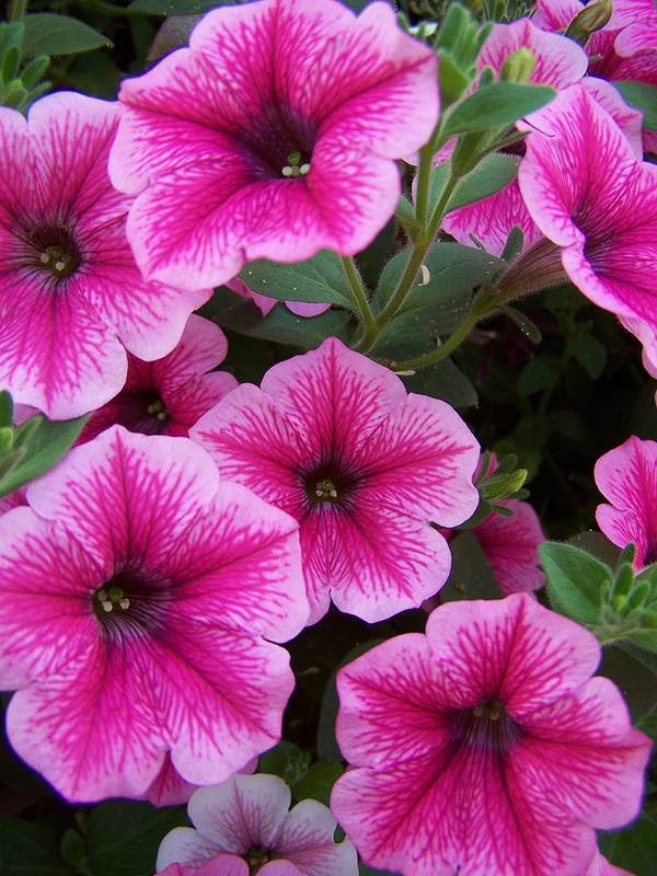 Pink Flower Poster featuring the photograph Pink Petunia by Gene Ritchhart