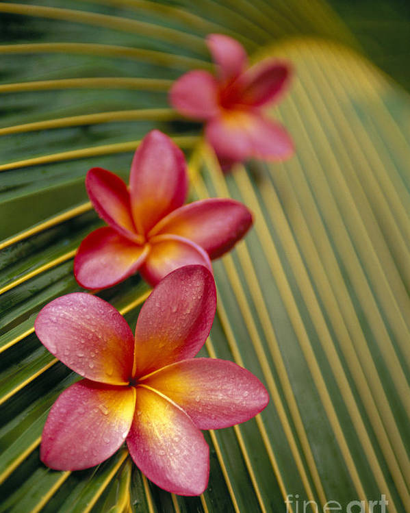 Blossom Poster featuring the photograph Pink Plumeria by Dana Edmunds - Printscapes