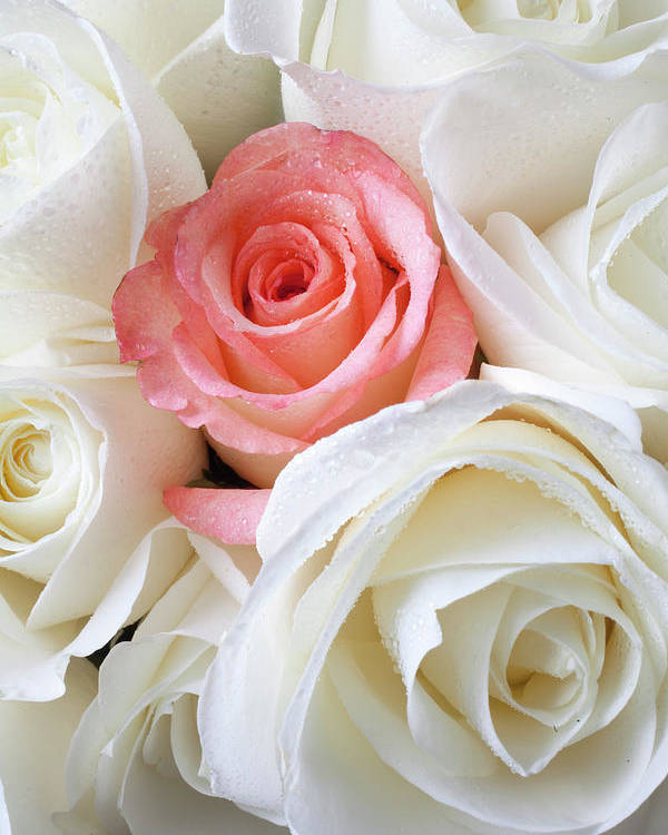 Pink Rose White Roses Poster featuring the photograph Pink Rose Among White Roses by Garry Gay