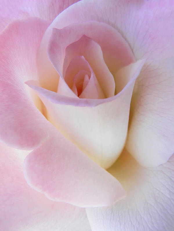 Rose Poster featuring the photograph Pink Rose Beginnings by Jennie Marie Schell