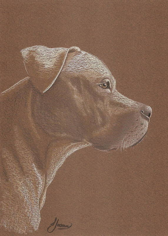 Pit Bull Poster featuring the drawing Pit Bull by Stacey Jasmin