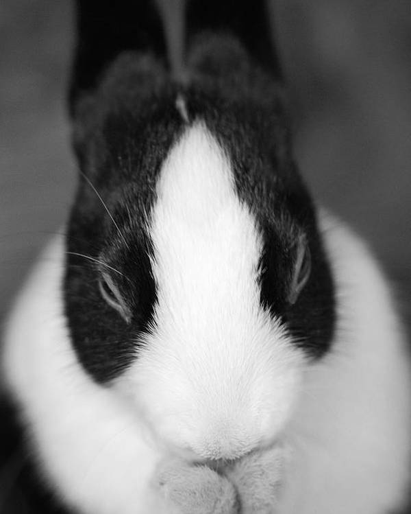 Rabbit Poster featuring the photograph Please Be Carrots by Fraser Davidson