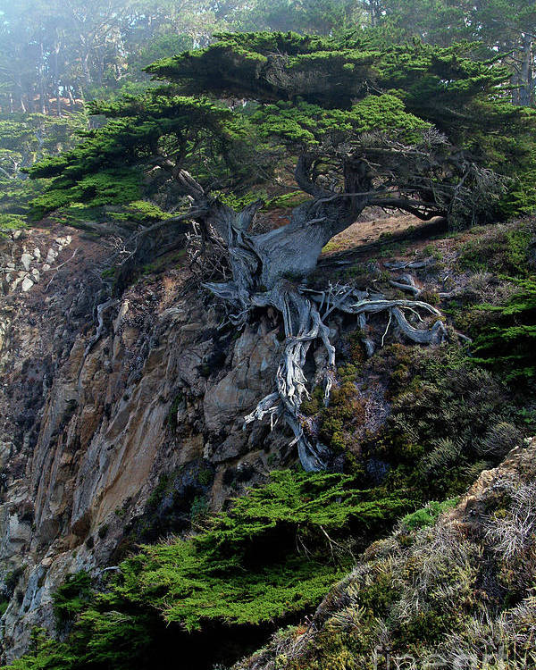 Landscape Poster featuring the photograph Point Lobos Veteran Cypress Tree by Charlene Mitchell