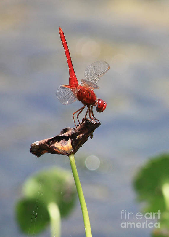 Dragonflies Poster featuring the photograph Pond Ballerina by Carol Groenen