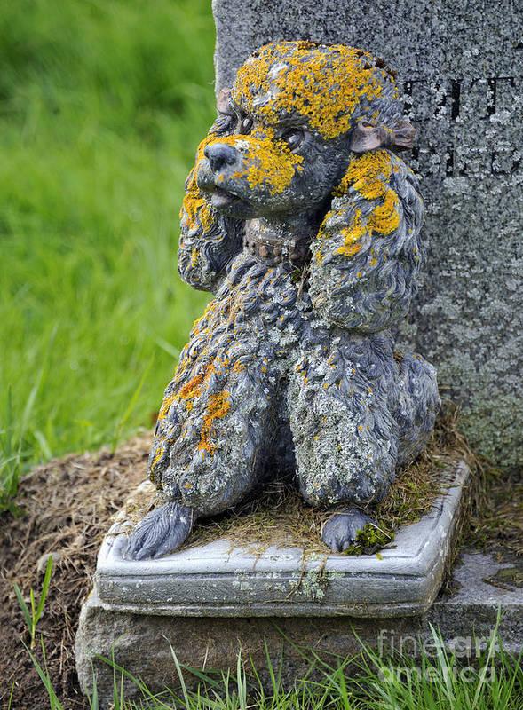 Poodle Dog Detail Gravestone Sculpture Stone Curchyard Saint Manir Crathie Royal Deeside Aberdeenshire Scotland United Kingdom Europe Lichen Poster featuring the photograph Poodle. by Stan Pritchard