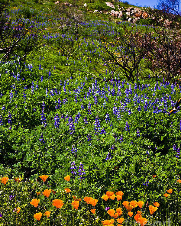 California Poster featuring the photograph Poppies Before Lupines by Greg Clure