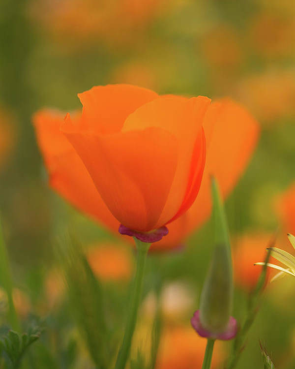 Wildflowers Poster featuring the photograph Poppy by Roger Mullenhour