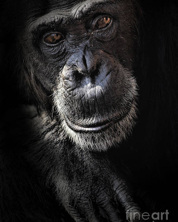 Chimp Poster featuring the photograph Portrait Of A Chimpanzee by Sheila Smart Fine Art Photography