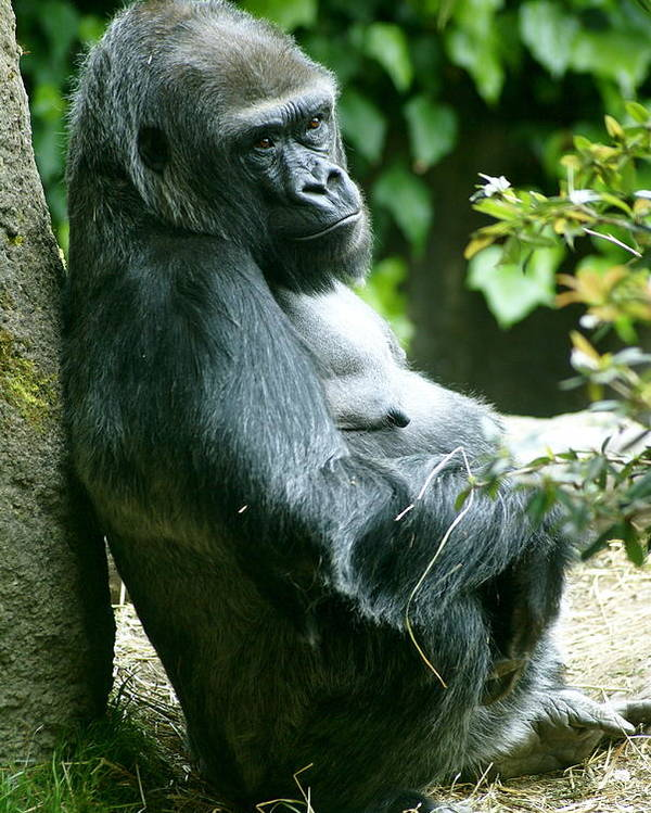 Animal Poster featuring the photograph Posing Gorilla by Sonja Anderson
