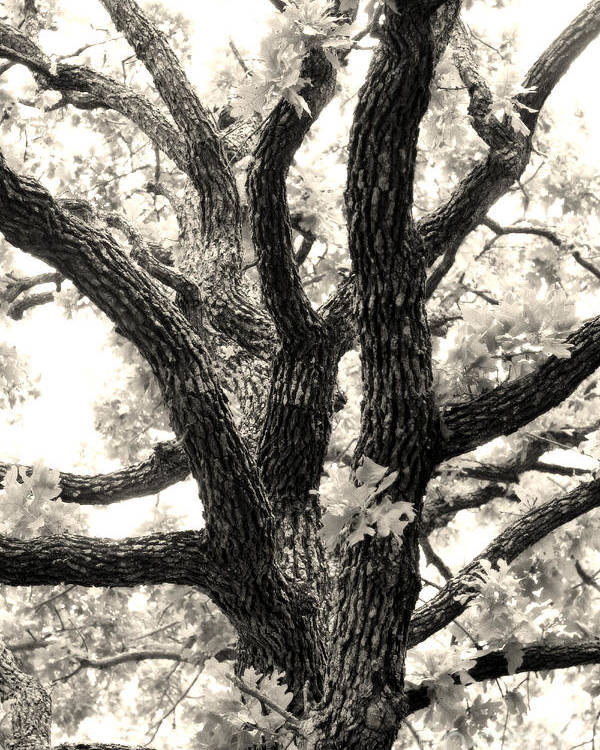 Post Poster featuring the photograph Post Oak by Jeannie Burleson