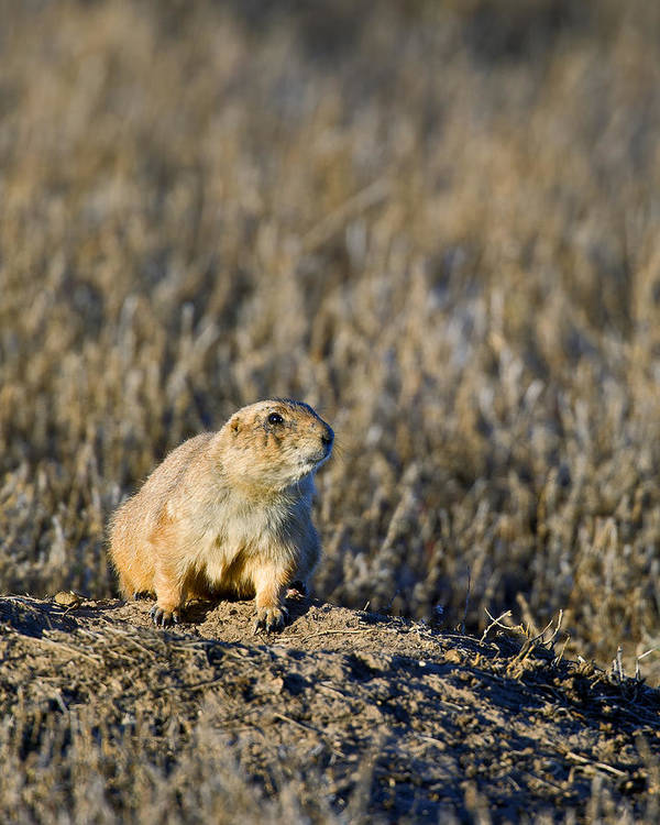Prairie Dog Poster featuring the photograph Prairie Dog Alert by Gary Langley
