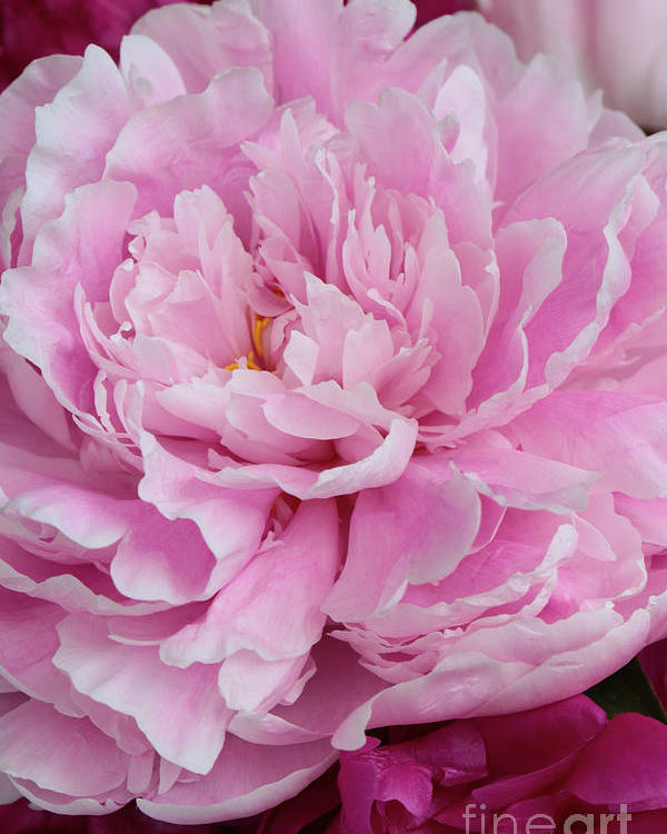 Peony Poster featuring the photograph Pretty In Pink Peony by Carol Groenen