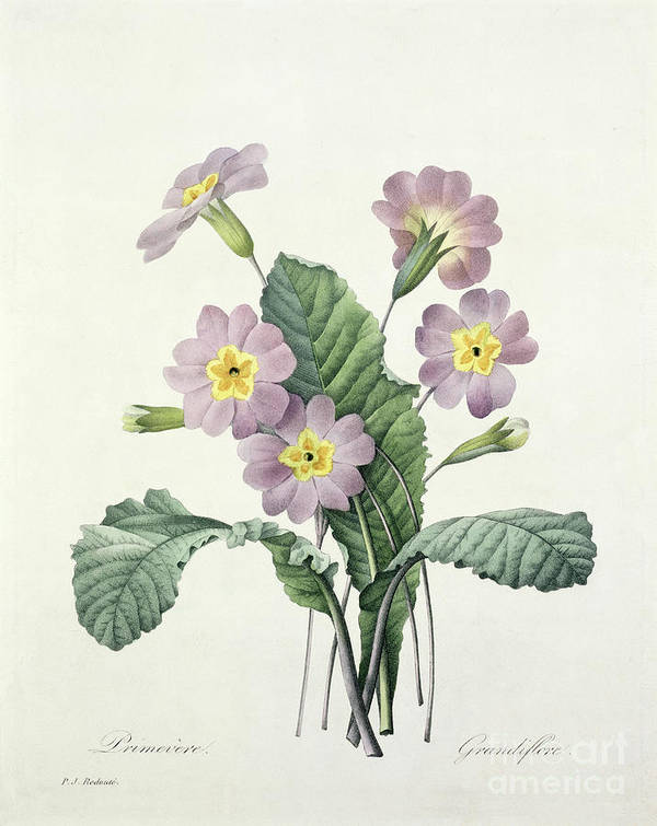 Primula Poster featuring the drawing Primrose by Pierre Joseph Redoute