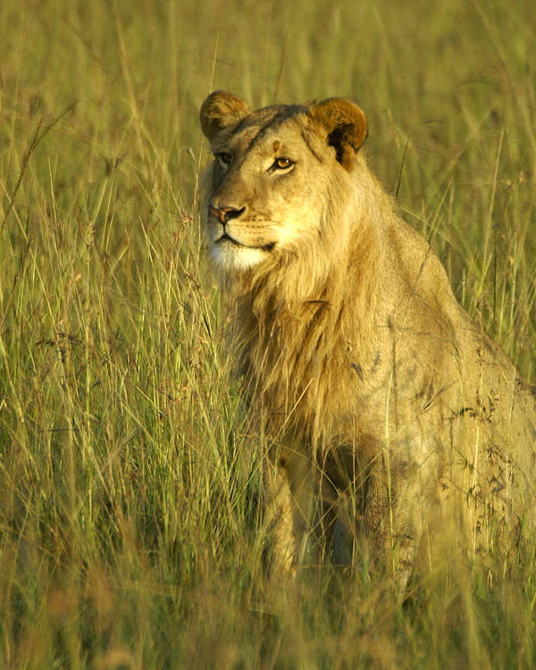 Africa Poster featuring the photograph Princely Lion by Michele Burgess
