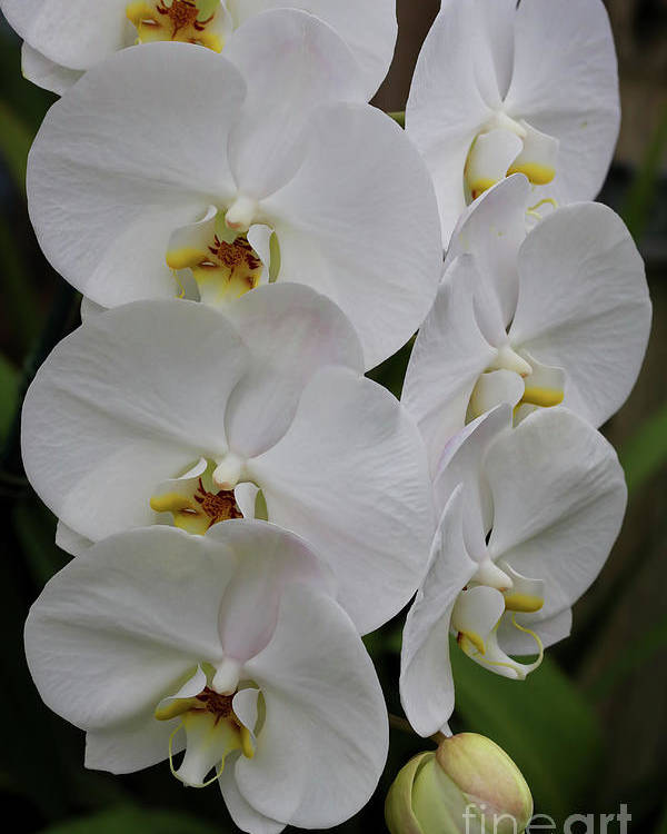 Orchids Poster featuring the photograph Purity by Deborah Benoit