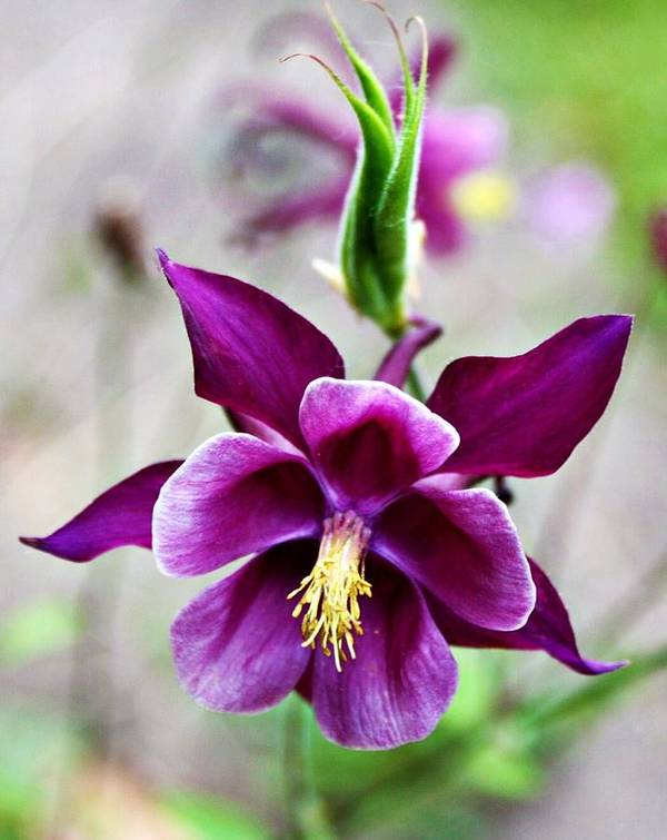 Columbine Flower Poster featuring the photograph Purple Beauty by Cathie Tyler