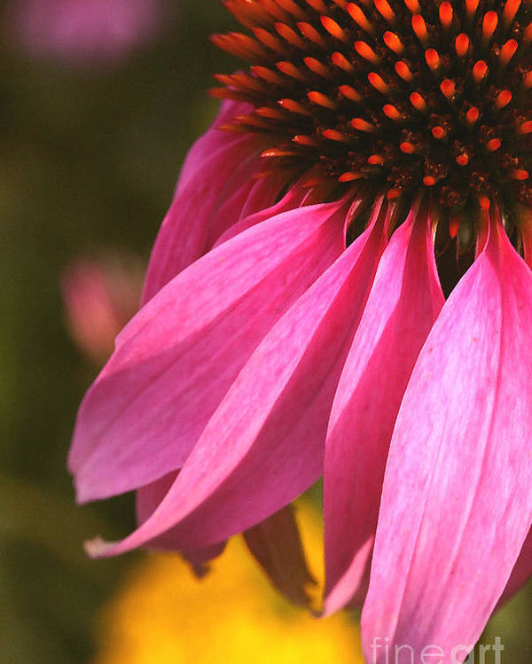 Coneflower Poster featuring the photograph Purple Coneflower Close-up by Steve Augustin