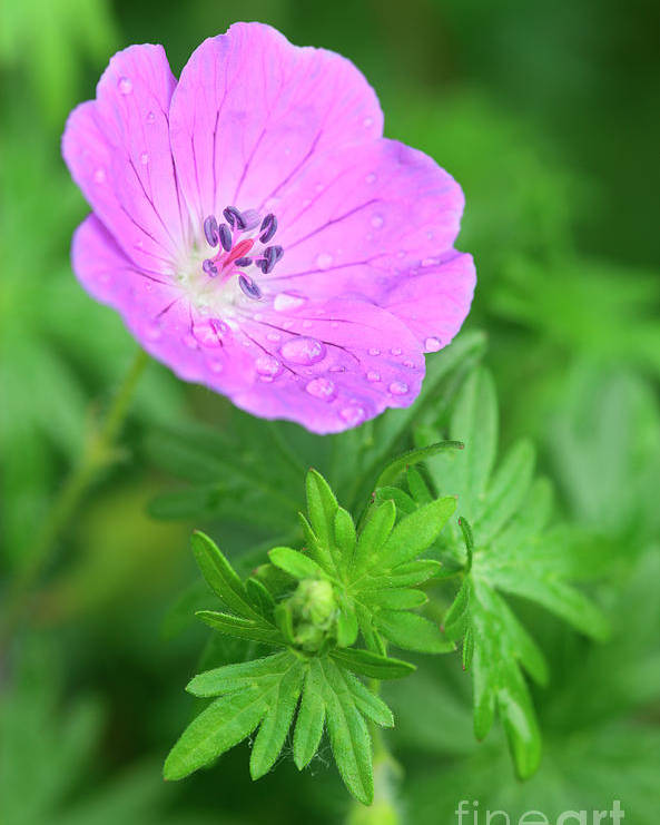 Geranium Sanguineum Poster featuring the photograph Purple Geranium Flower by Neil Overy